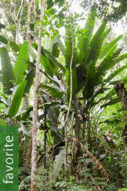 Phenakospermum guyannense – South American Travellers Palm