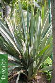 Phormium tenax – New Zealand Flax