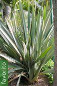 Phormium tenax – Lino de Nueva Zelanda, Cáñamo de Nueva Zelanda
