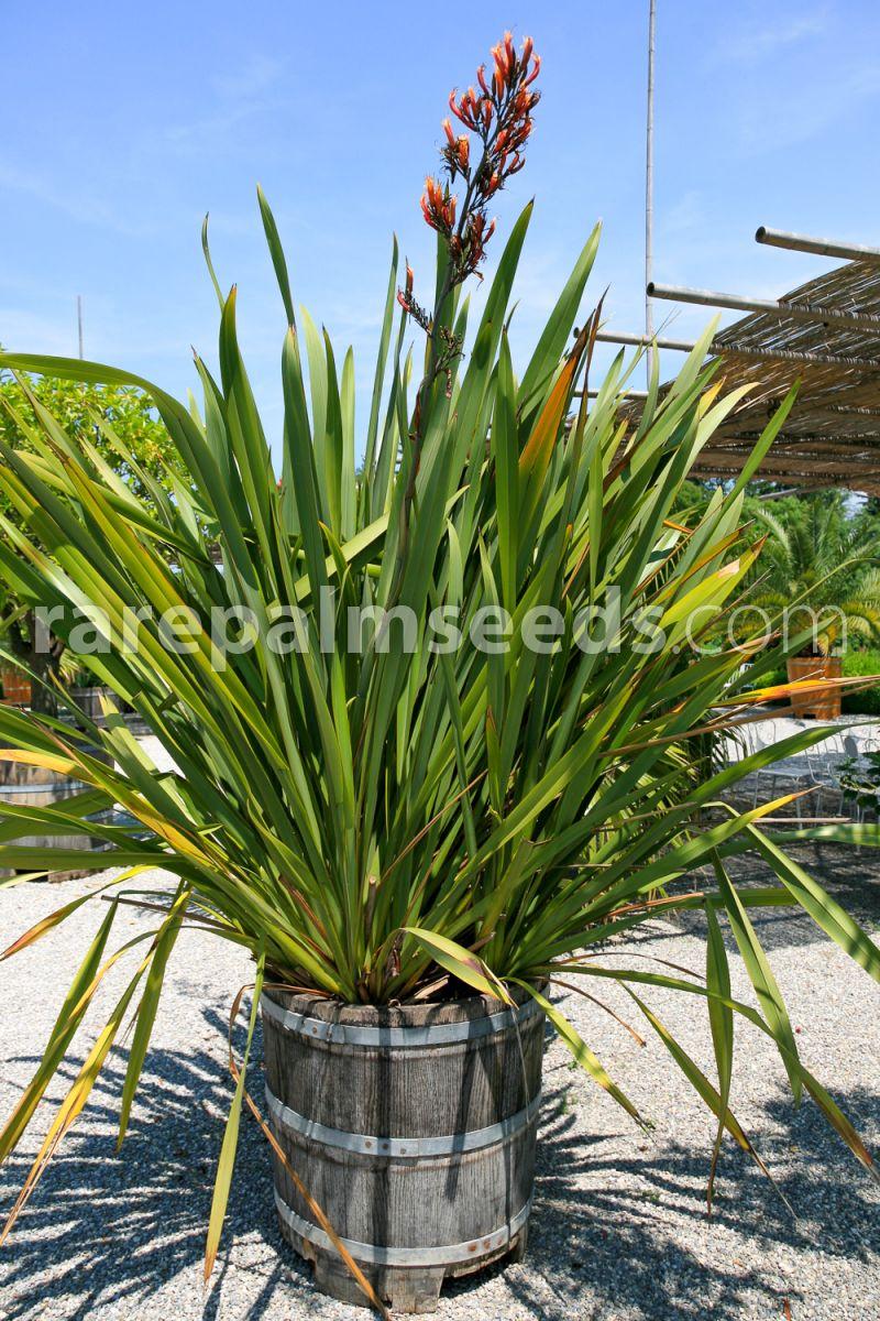 20 Fresh Seeds Phormium colensoi Mountain Flax