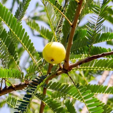 Phyllanthus emblica – Indian Gooseberry, Amla