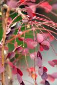 Phyllanthus parviflorus