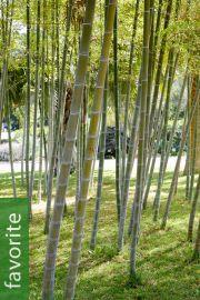 Phyllostachys edulis – Moso Bamboo