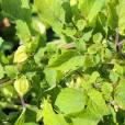 Physalis pruinosa – Ground Cherry, Strawberry Tomato