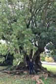 Phytolacca dioica – Elephant Tree, Ombú