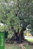 Phytolacca dioica – Ombúbaum, Zweihäusige Kermesbeere
