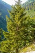 Picea orientalis – Pícea del Cáucaso