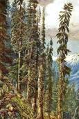 Picea smithiana – Morinda Spruce