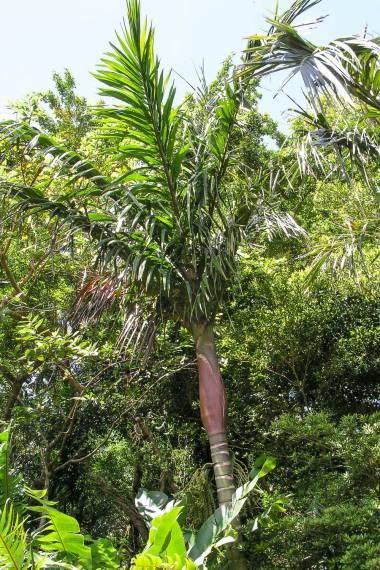 Pinanga batanensis