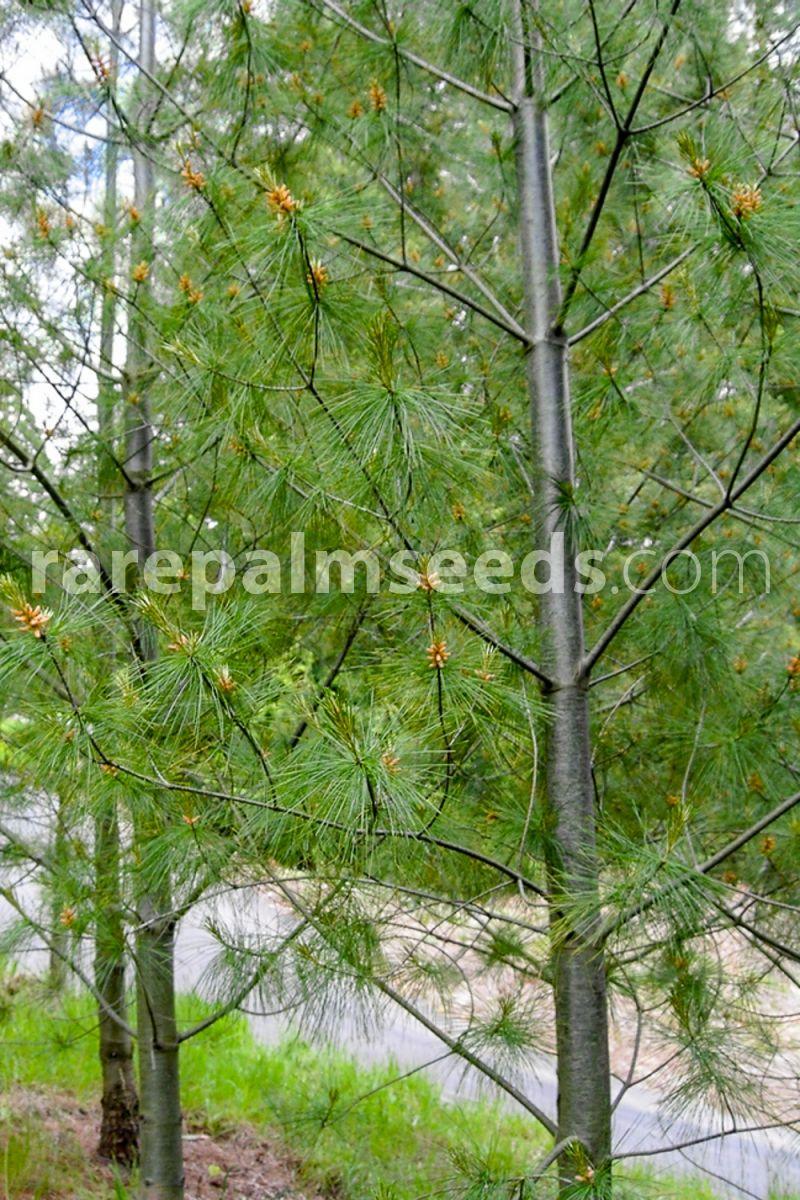 pinus armandii Bonsai Subject UK Stock 6g 18x seeds ☆Chinese White Pine Tree