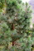 Pinus canariensis – Canary Island Pine