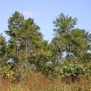 Pinus caribaea var. hondurensis