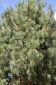 Pinus engelmannii – Apache Pine