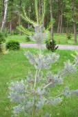 Pinus parviflora – Pino japones blanco