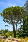 Pinus pinea – Stone Pine, Umbrella Pine