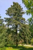 Pinus ponderosa – Ponderosa Pine, Western Yellow Pine