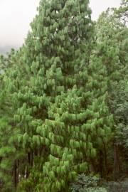 Pinus wallichiana – Bhutan Pine, Himalayan White Pine