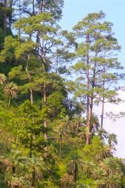 Pinus roxburghii – Chir Pine
