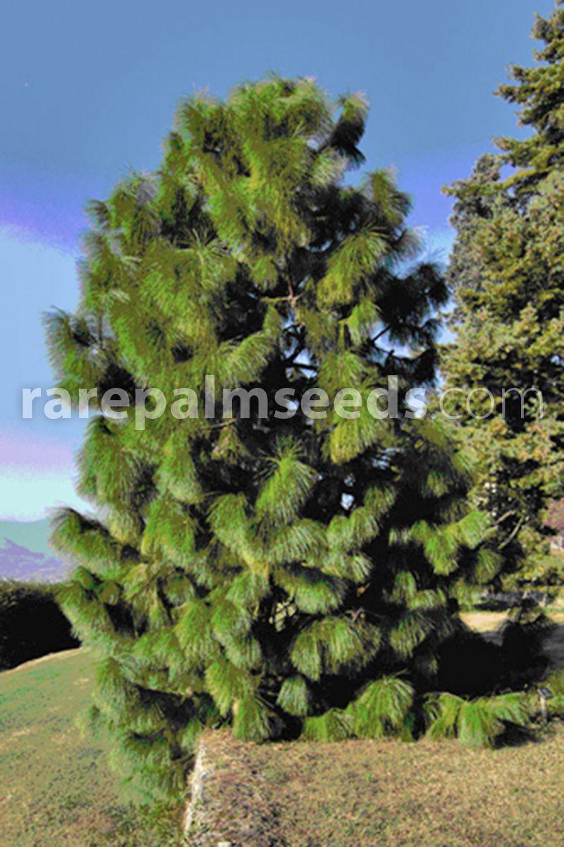 YUNNAN PINE Pinus Yunnanensis SEEDS 10