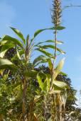 Pitcairnia brunnescens – Cordyline Bromeliad