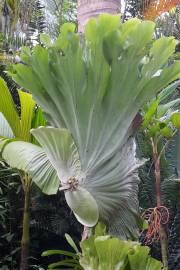Platycerium wandae – Giant New Guinea Staghorn Fern