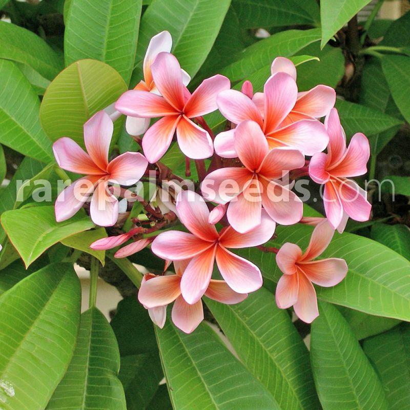 Plumeria Rubra Frangipani Buy Seeds At Rarepalmseeds Com
