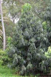 Podocarpus henkelii