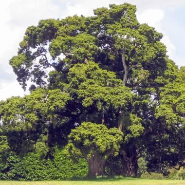 Podocarpus totara – Totara