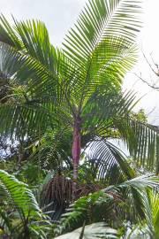Prestoea acuminata var. acuminata 'Red Crownshaft'