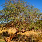 Prosopis alba 'Banana Carob' – Banana Carob Tree, White Carob Tree