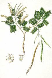 Prosopis cineraria