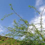 Prosopis juliflora var. juliflora – Mesquite