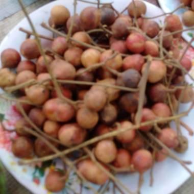 Protium serratum 'Red' – Indian Red Pear