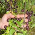 Prunus domestica 'Tiny Purple'