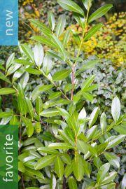 Prunus laurocerasus – Cherry Laurel