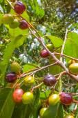 Prunus serotina subsp. capuli – Wild Black Cherry
