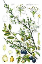 Prunus spinosa – Blackthorn, Sloe