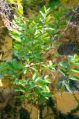Psidium guajava – Common or Apple Guava