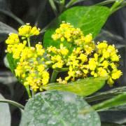 Psychotria capensis – Bastard Lemonwood