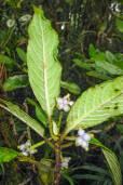 Psychotria sp. 'Big Fuzzy'