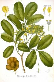 Pterocarpus marsupium – Malabar Kino