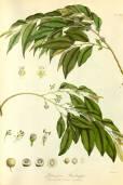 Putranjiva roxburghii – Lucky Bean Tree