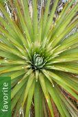 Puya dasylirioides
