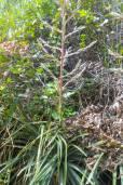 Puya floccosa