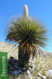 Puya raimondii – Queen of the Andes, Giant Bromeliad