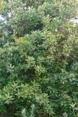 Rapanea melanophloeos – Cape Beech
