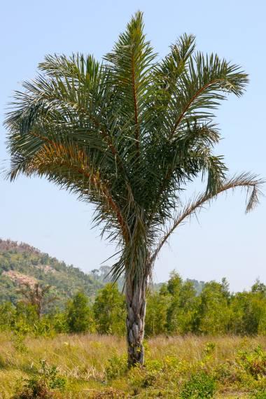 Raphia farinifera – Raffia Palm
