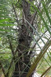 Raphia hookeri – West African Wine Palm