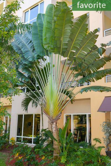 Ravenala madagascariensis – Madagascan Travelers Palm