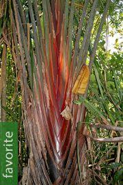 Ravenala sp. 'Honkondambo' – Red Travellers Palm